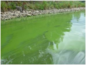 blue-green-algae-2
